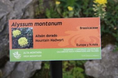 20170323 Alyssum montanum 00