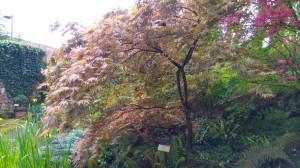 Acer_palmatum_Chitoseyama (1)