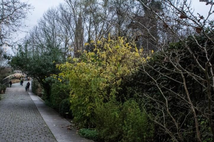 Chimonanthus praecox (1)