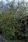 Chimonanthus praecox (3)
