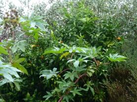 Citrus_ reticulata (2)