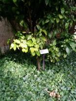 Citrus_ reticulata (3)