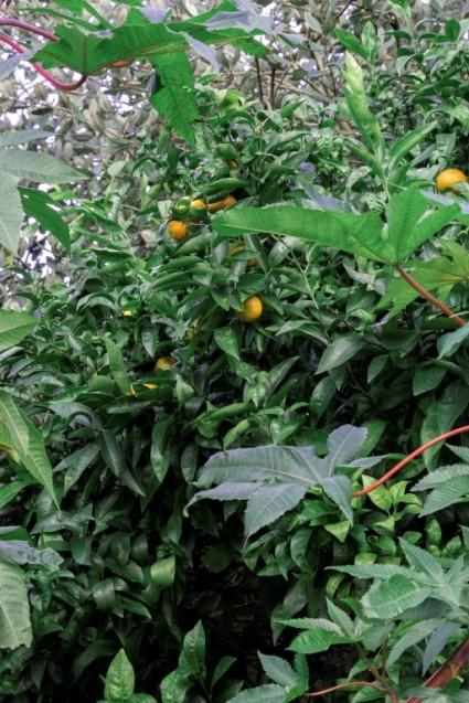 Citrus_ reticulata (5)