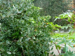 Citrus_ reticulata (7)