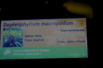 Daphniphyllum macropodum 00