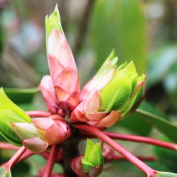 Daphniphyllum macropodum 15