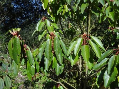 Daphniphyllum macropodum 4