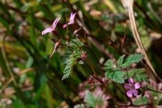 Geranium robertianum 5