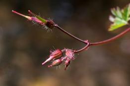 Geranium robertianum 9