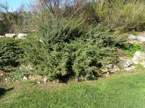 Juniperus_alpina (1)