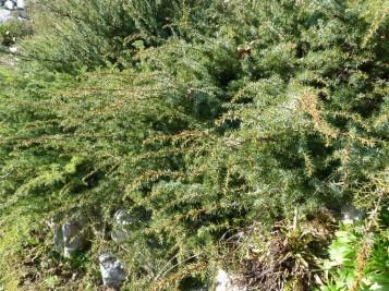 Juniperus_alpina (10)