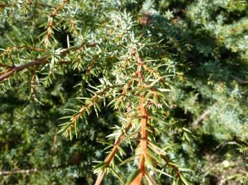 Juniperus_alpina (11)