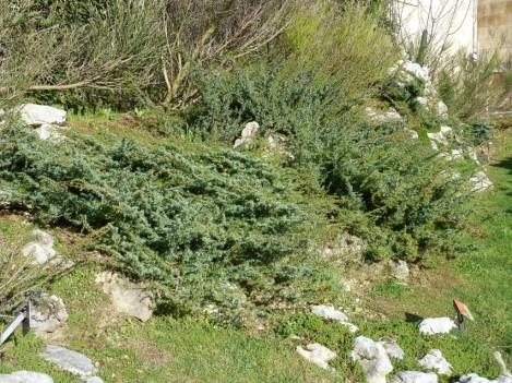 Juniperus_alpina (12)