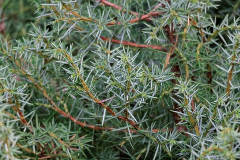 Juniperus_alpina (2)
