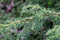 Juniperus_alpina (3)