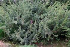 Juniperus_alpina (4)