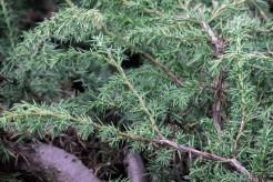 Juniperus_alpina (5)