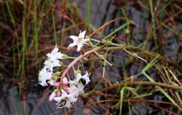 Menyanthes_trifoliata (2)