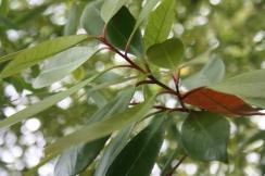 Photinia x fraseri 'Red Robin' 3