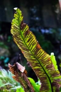 Phyllitis scolopendrium (4)