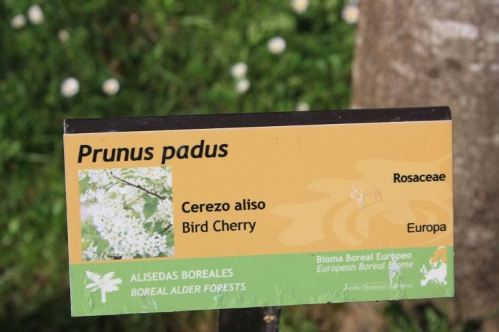 Prunus padus 0