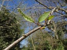 Prunus padus 10