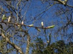 Prunus padus 11