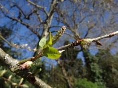 Prunus padus 13