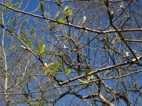 Prunus padus 16