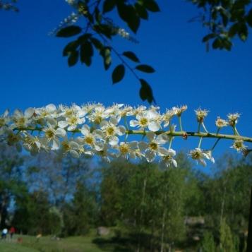 Prunus padus 17