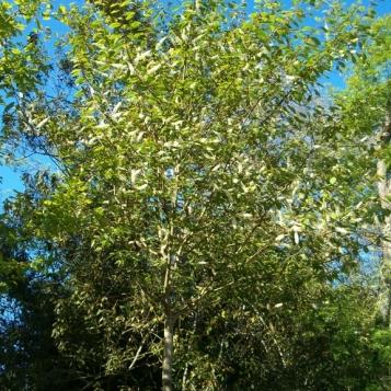 Prunus padus 3