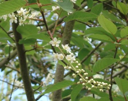 Prunus padus 4
