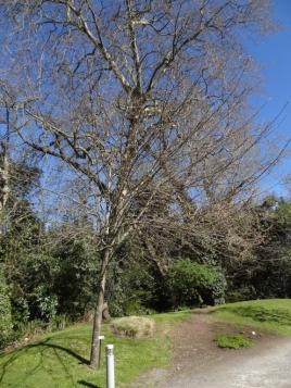 Prunus padus 5