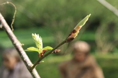 Prunus padus 7