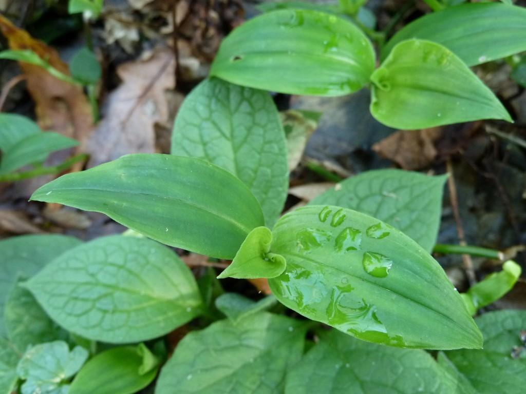 Tradescantia fluminensis 2 asociaci n de amigos jard n for Amigos del jardin botanico