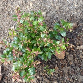 Vaccinium vitis-idaea_03