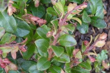 Vaccinium vitis-idaea_07
