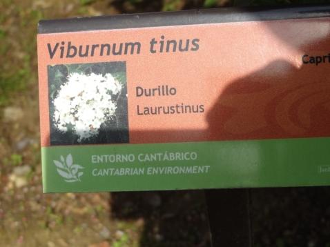 Viburnum tinus_01