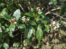 Viburnum tinus_04