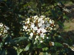 Viburnum tinus_07