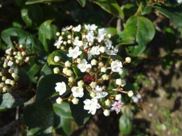 Viburnum tinus_08