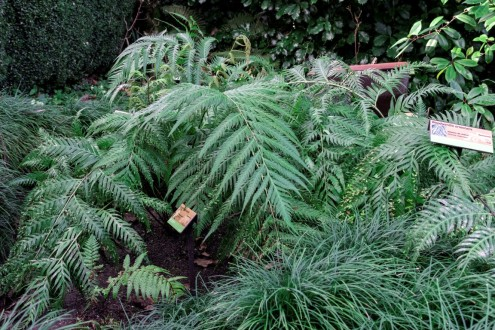 Woodwardia_orientalis (2)