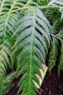 Woodwardia_orientalis (3)