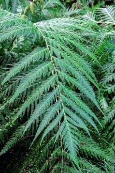 Woodwardia_orientalis (4)