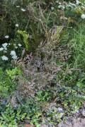 Calluna vulgaris 5