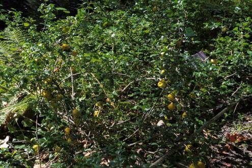 Chaenomeles japonica_5164