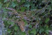 Coreopsis tinctoria_5187