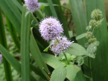 Mentha aquatica (menta) 1 (5)