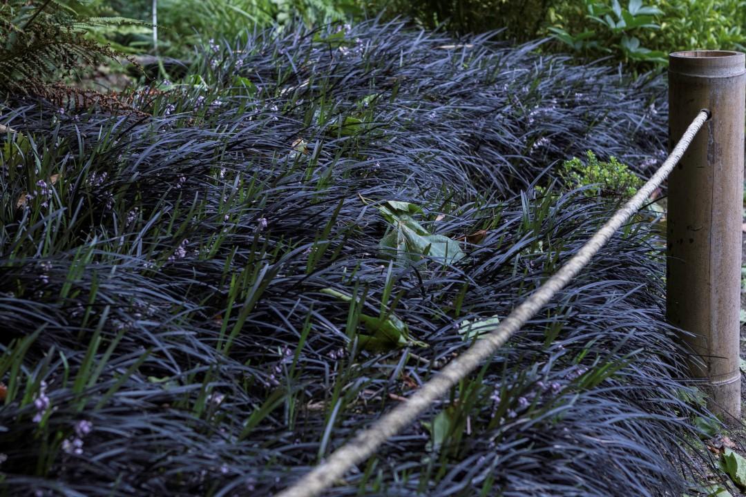 Ophiopogon planiscapus nigrescens 5 asociaci n de amigos for Amigos del jardin botanico