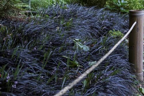 Ophiopogon planiscapus nigrescens 5